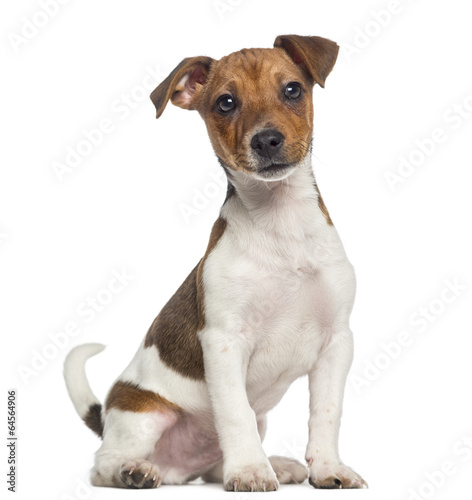 Fotografie, Obraz  Jack Russell Terrier puppy sitting (3 months old)