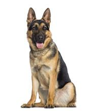 German Shepherd Dog Sitting An...