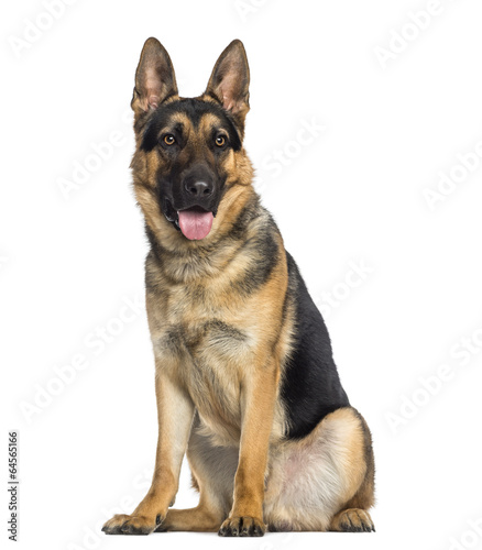 German Shepherd Dog sitting and panting (1 year old) - Buy