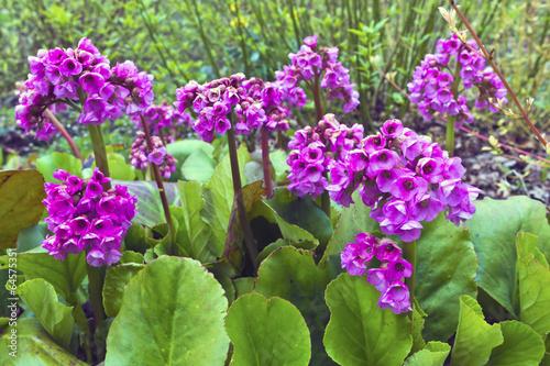 Purple springtime garden flowers Bergenia cordifolia. Canvas Print