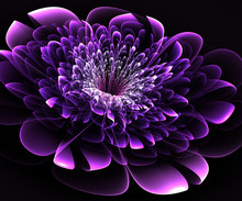 Beautiful Purple Flower On Black Background. Computer Generated