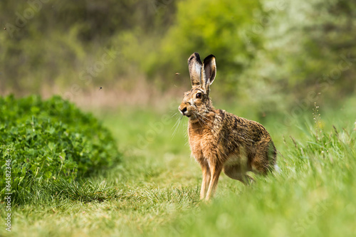 Fotografia European hare (Lepus europaeus)