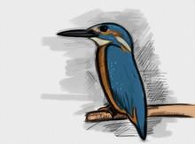 Hand Drawn Common Kingfisher W...