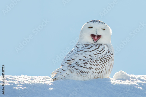 Spoed Foto op Canvas Uil Snowy Owl - Yawning / Smiling in Snow