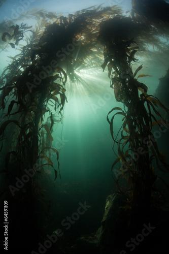 Fotobehang Koraalriffen Kelp Forest 4