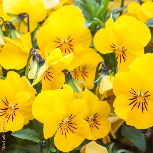 Papiers peints Pansies Yellow color pansies
