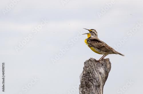 Valokuva  Western Meadowlark