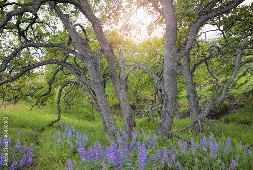 Photo  Lupine Wild Flowers Under the Trees