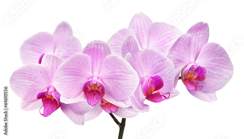 Orchidée magenta orchid