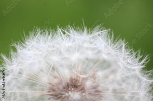Staande foto Paardebloemen en water Dandelion