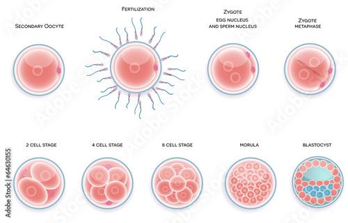 Fotografie, Obraz  Fertilised cell development. Stages from fertilization till moru