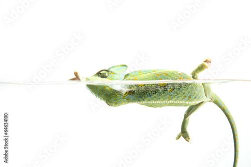 Staande foto Kameleon Chameleon learning how to swim in an aquarium