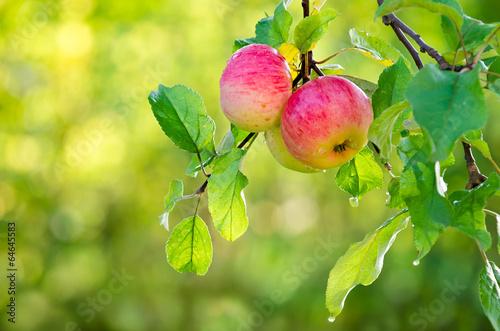 Fotografie, Obraz  Apple fruits growing on an apple tree branch