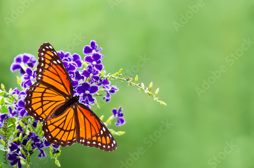 Poster Vlinder Viceroy butterfly (Limenitis archippus) on blue flowers