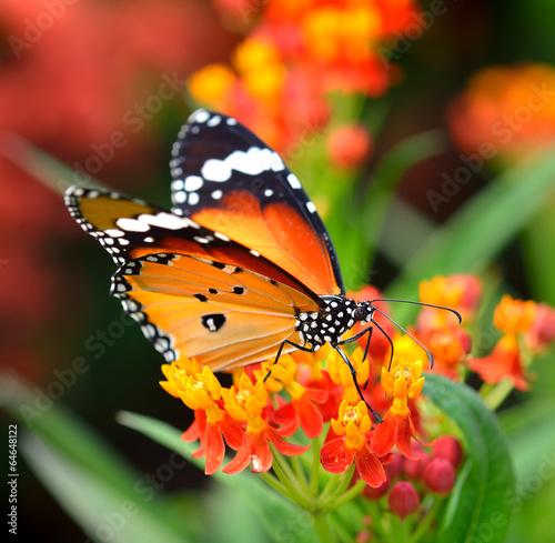 Fototapeta Butterfly on orange flower in the garden
