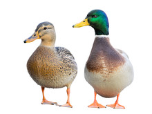 Pair Of Mallard Ducks Isolated...