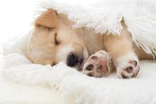 Beige Puppy Sleeps