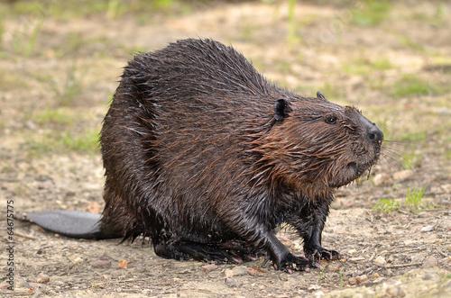Photo North American Beaver on ground