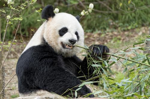 Fényképezés  giant panda while eating bamboo