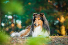 Rough Collie Lying In The Park