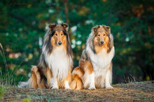 Two Rough Collies Sitting In The Park