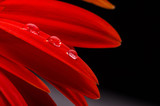 Red gerbera and water drops