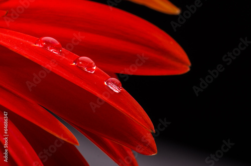 Photographie Red gerbera and water drops