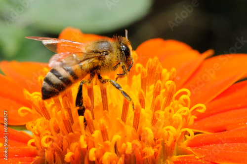 Aluminium Prints Bee Ape