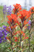 Red Indian Paintbrush Wildflow...