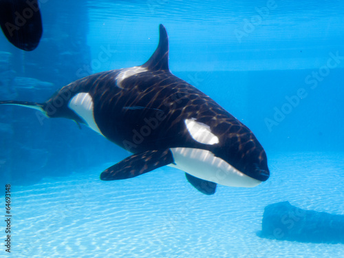 Fotografie, Obraz  Killer whale (Orcinus orca) in an aquarium