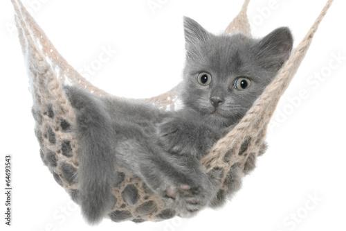 Keuken foto achterwand Kat Cute gray kitten in hammock