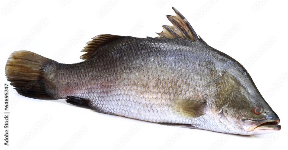 Fototapeta Barramundi or Koral fish of Southeast Asia