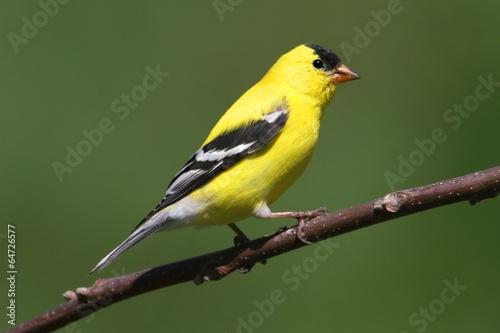 Obraz na plátne American Goldfinch on a branch