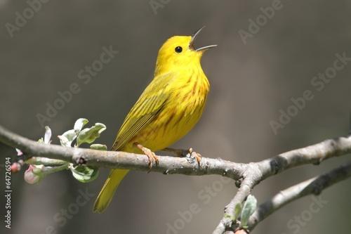 Leinwand Poster Yellow Warbler (Dendroica petechia) Singing