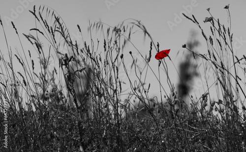 czerwony-mak