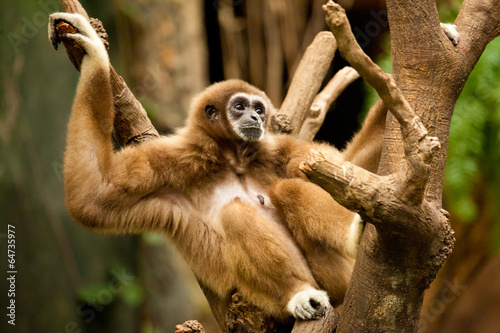 Fotomural Gibbon in a Tree