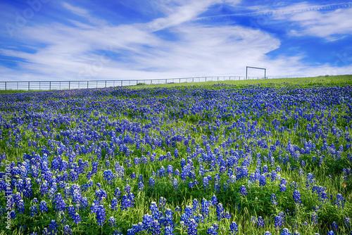 Poster Texas Texas Bluebonnet field in bloom
