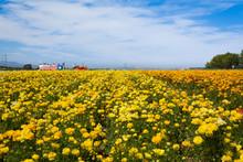 Flower Field - Carlsbad, Calif...