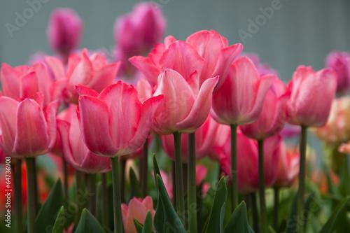 Fotografie, Obraz  Pink Tulips