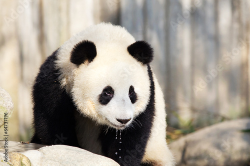 Wall Murals Photo of the day Giant Panda Drinking Water, Chengdu, China