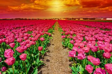 Obraz na SzkleDutch Tulips