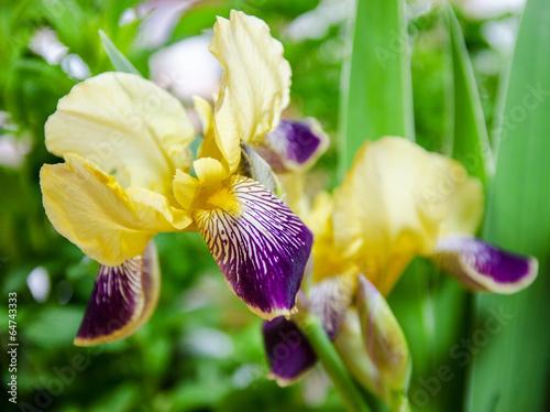 Spoed Foto op Canvas Iris Schwertlilien :)