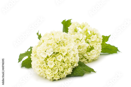 Photo sur Toile Hortensia white hydrangea