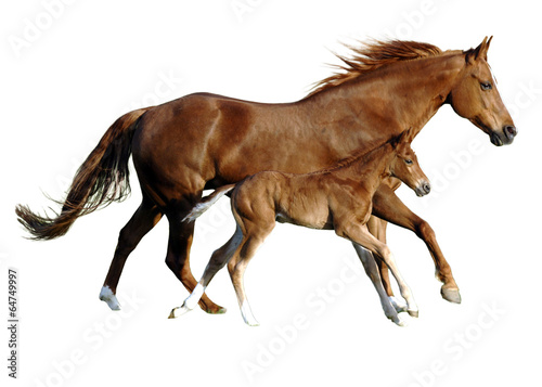 Fotomural foal and mare in perfect simultanously gallop