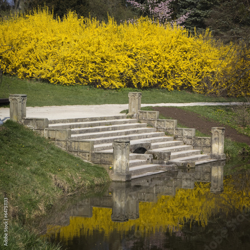 Fototapeta Blooming forsythia on a pond in a park