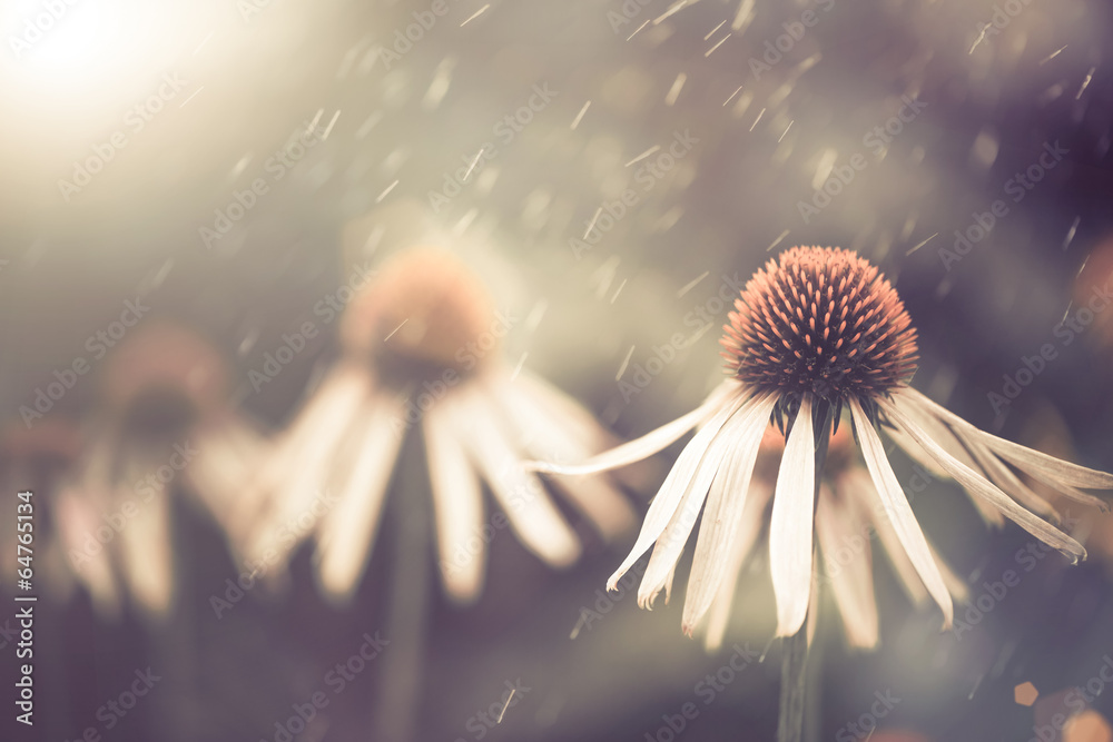 Fototapety, obrazy: summer flower under rain