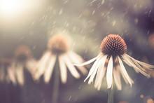 Summer Flower Under Rain