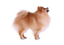 Pomeranian Grooming Dog Isolated