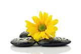 Fototapeta Kamienie - Żółta astra na kamieniach do spa