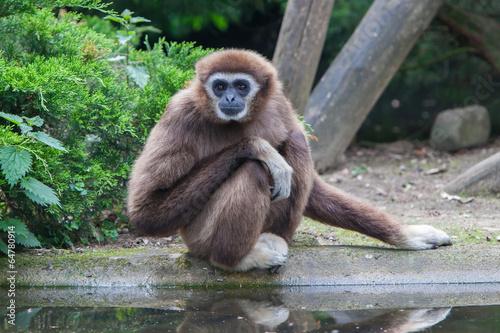 Canvas-taulu Lar Gibbon, or a white handed gibbon